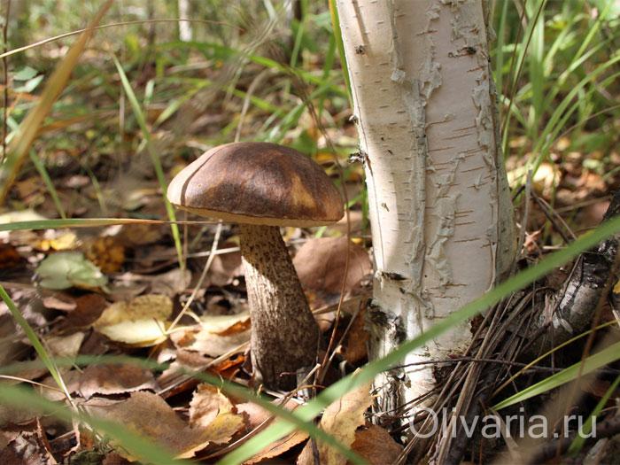 картинка гриб подберезовик под березой думаю