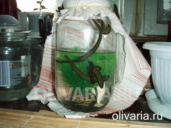 Как выращивать пиявок в домашних условиях