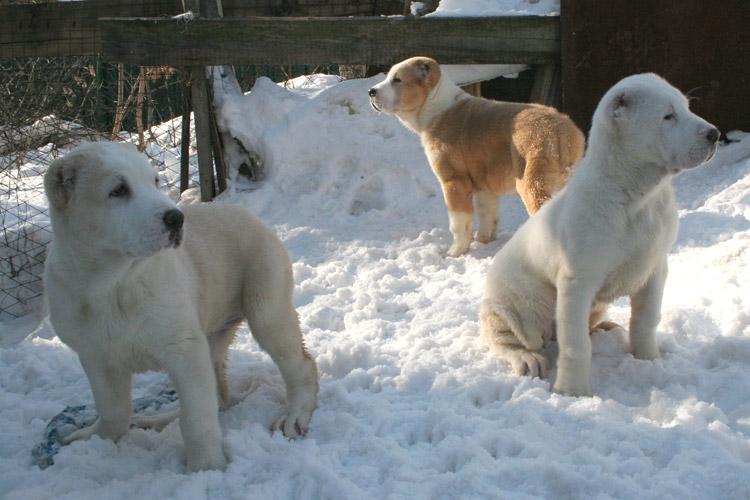 Щенки среднеазиатской овчарки, Собака для охраны, Продажа щенков ...